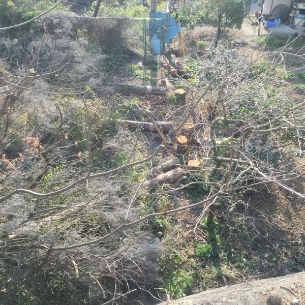 杉の木伐採処理