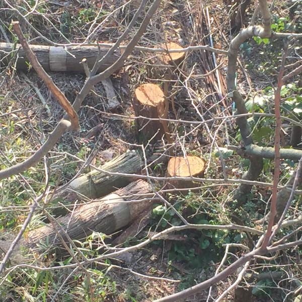 杉の木伐採台風準備