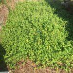 太陽光発電雑草対策クラピアK5の成長日記
